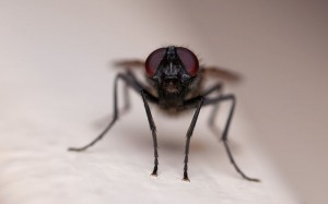 housefly staring